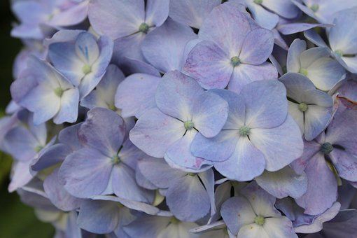 Hydrangea, Purple, In Full Bloom