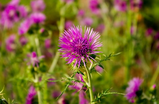 Thistle, Carduus, Inflorescence, Flowers, Beetles