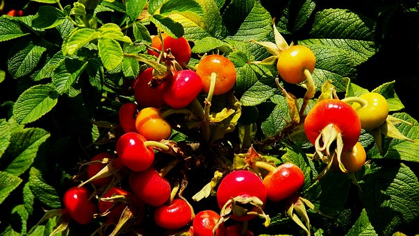 Plants, Bush, Wild Rose, The Fruit Of The Rose, Red