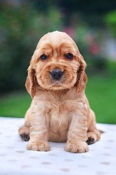 Coker, Spaniel, English, Puppy, Cocker Spaniel, Doggy