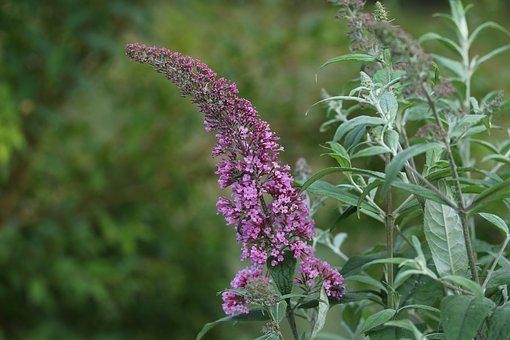 Lilac, Plant, Macro, Purple, Bush, Garden, Flowers