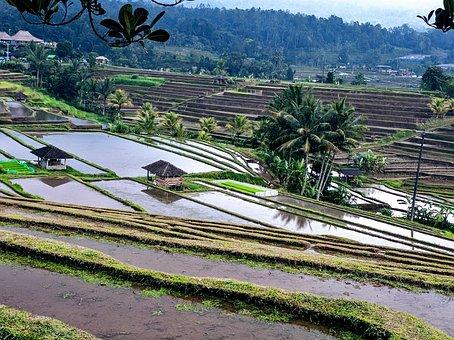 Rice Terrace, Rice Fields, Rice Paddies, Paddy