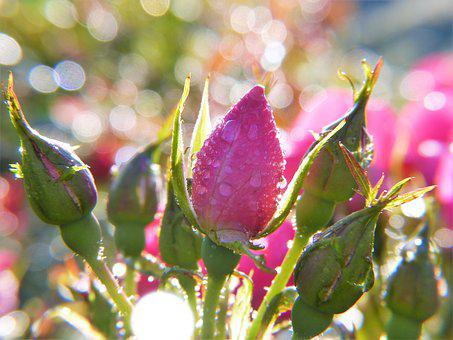 Rose, Rose Bud, Dew, Drop Of Water, Drip, Rain, Casting