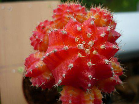 Strawberry Cactus, Succulent, Refined, On