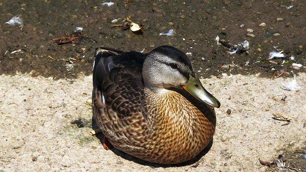 Birds, Wild, Water Bird, Mallard Duck, Nature, Closeup