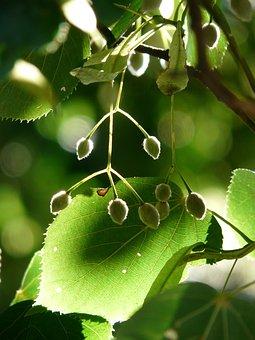 Capsules, Linde, Tree, Linden Seeds, Seeds, Fruits