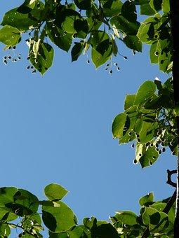 Capsules, Seeds, Linde, Tree, Linden Seeds, Fruits