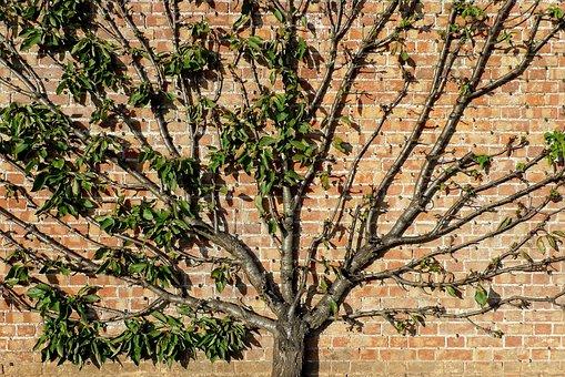 Tree, Trained, Fan, Fruit, Apple, Ornamental, Wall