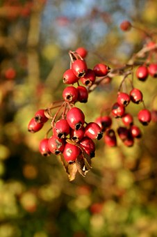 Rose Hip, Red, Fruit, Nature, Plant, Wild Rose, Autumn