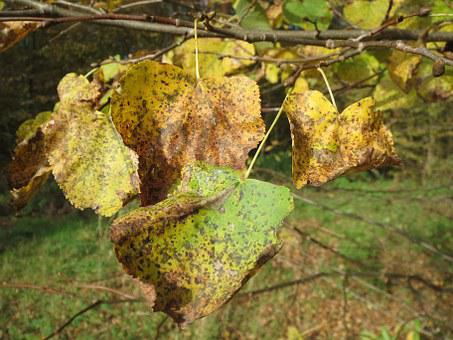 Tilia Cordata, Small-leaved Lime, Small-leaved Linden