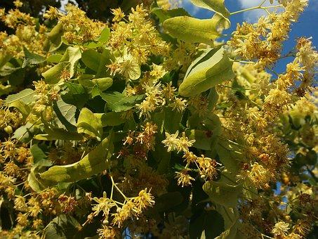 Linden, Spring, Summer, Nature, Yellow Flower, Tree