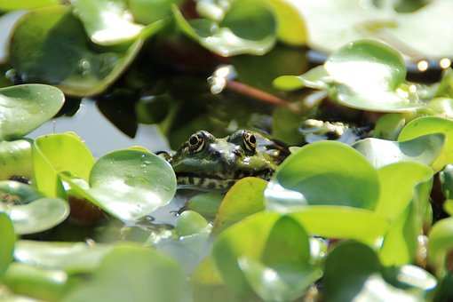 Frog, Pond, Frog Pond, Aquatic Animal, Amphibian