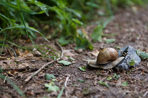 Snail, Nature, Mollusk, Shell, Animal, Garden, Slowly