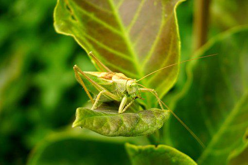 Grasshopper, Leaf, Green, Animal, Insect