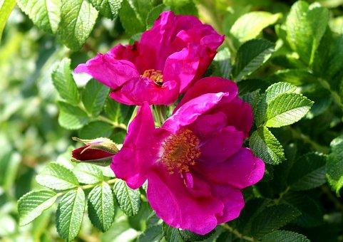 Wild Rose, Blossom, Bloom, Pink