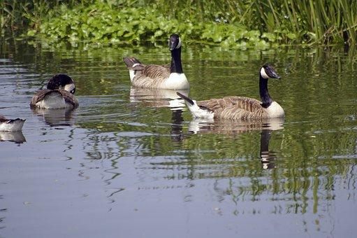 Canada Goose, Birds, River Navigable