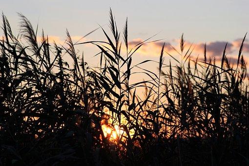 Cane, Evening, Sunset, Outdoor, Rural, Nature, Summer