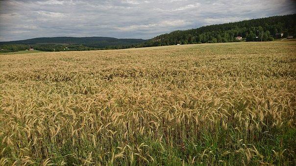 Field, Cornfields, Countryside, Swedish Countryside