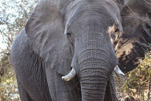 African Elephant, Africa, Elephant, Cute, Large, Zoo
