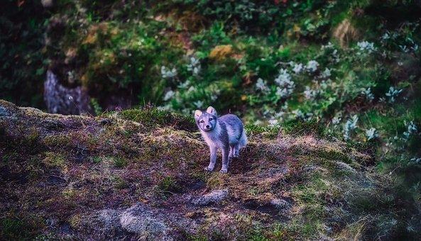 Iceland, Arctic Fox, Animal, Wildlife, Cute, Landscape