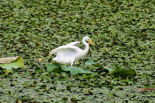 Animal, Lake, Heron, Egret, Team Rabbit, Wild Birds