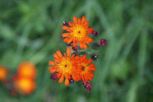 Flower, Meadow, Nature, Flowers, Flora, Green, Plant