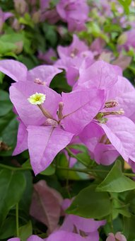 Purple, Flora, Flower, Nature, Summer, Spring, Plant
