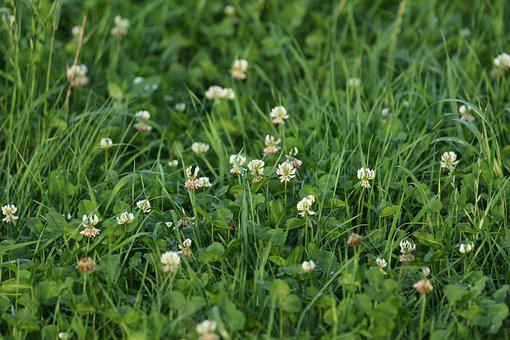 Meadow, Klee, Grass, Green, Red Clover, Clover Flower