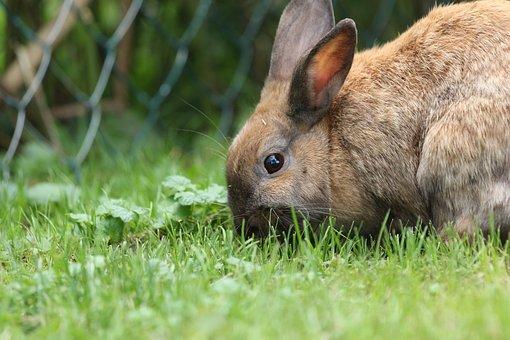 Hare, Rabbit, Close, Brown, Dwarf Rabbit, Cute, Sweet
