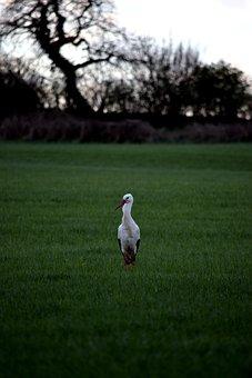 Stork, Field, Bird, Rattle Stork, Green, Nature, Adebar