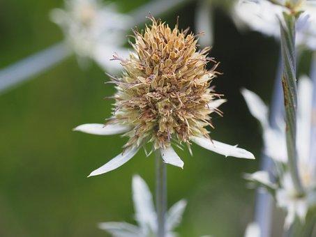 Thistle, Garden, Flower, Plant, Nature, Prickly, Summer