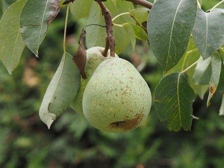Pear, Fruit, Fruits, Ripe, Healthy, Food, Harvest, Bio