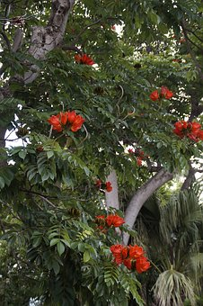Tulip Tree, Exotic, Exot, Tropical, Nature, Plant