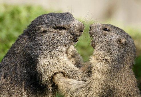 Marmot, Rodent, Alpine, Alpine Marmot, Wildlife Park