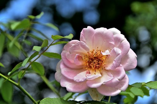 Rose, Pink, Flower, Plant, Nature, Petal, Romance