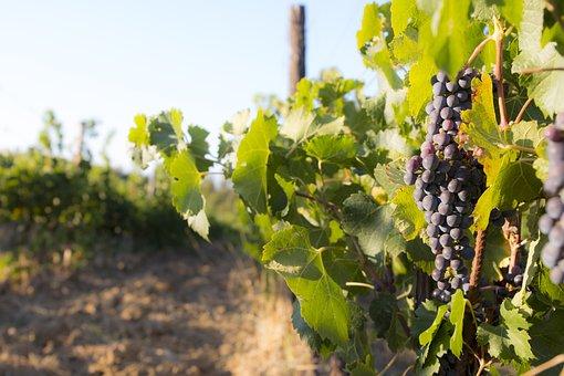 Harvest, Bunch, Vine, Screw, Grapes, Cultivation