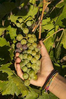 Grapes, Vintage, Screw, Vineyard, Wine, Autumn, Enoteca