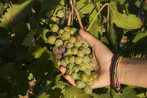 Grapes, Vintage, Screw, Vineyard, Wine, Tuscany