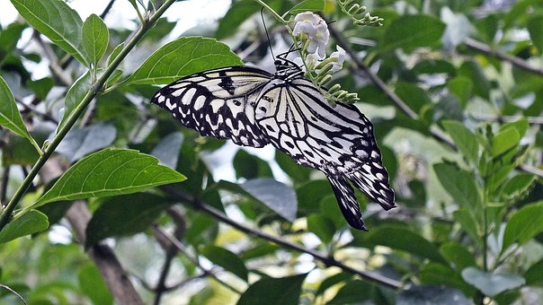 Butterfly, Black, White, Bohol, Philippines