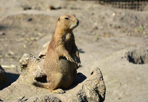 Prairie Dog, Cynomys, Rodent, Animals, Mammal, Wild