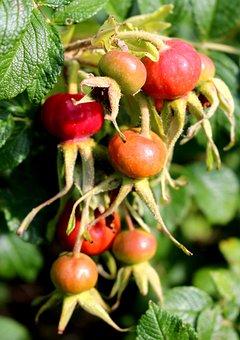 Rose Hip, Wild Rose, Red, Bush, Autumn