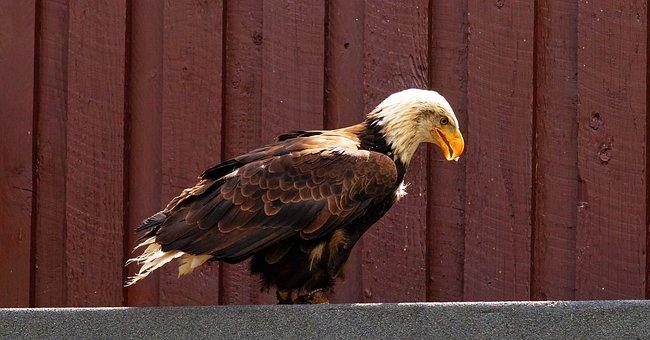 Bird Of Prey, Raptor, Bald Eagle, Adler, Wing, Bird