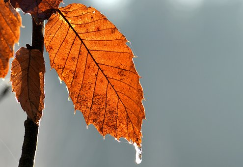 Leaf, Winter, Ice, Tree, Autumn, Leaves, Fall, Forest
