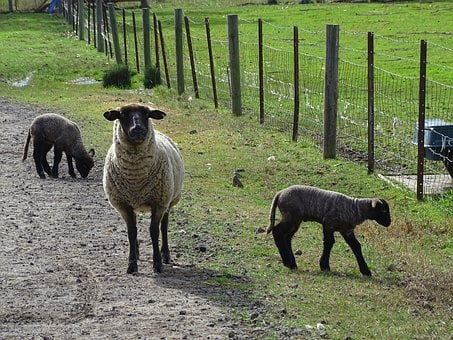 Sheep, Livestock, Fleece, Lamb, Wool, Farming