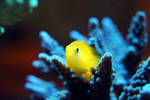 Fish, Yellow, Coral, Reef, Sea, Tropical, Marine, Ocean