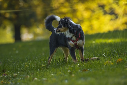 Dog, Dog Breed, Kromfohrlander, Thoroughbred