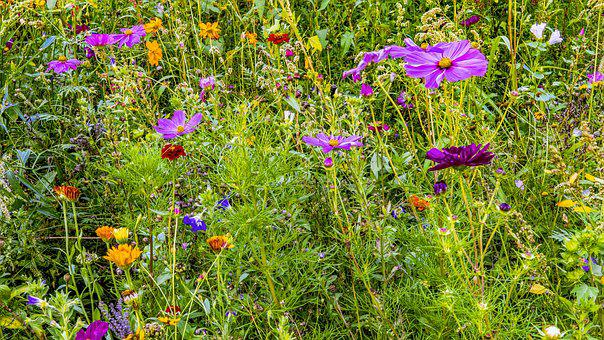 Flower Meadow, Colorful, Flowers, Nature, Violet