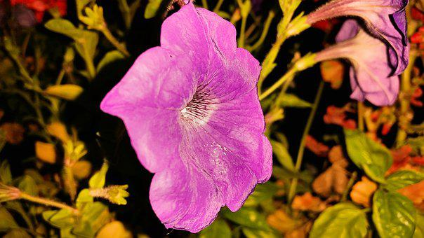 Postcard, Flowers, Petunia