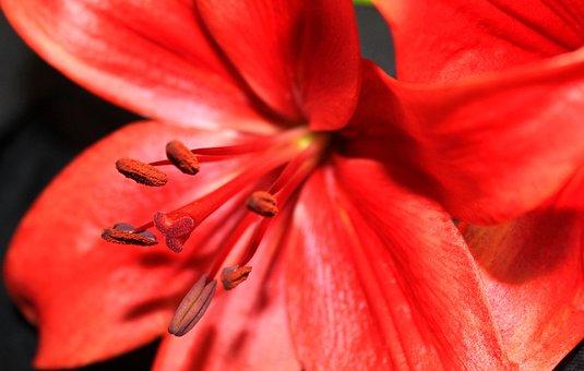 Star Gazer, Flower, Stamen