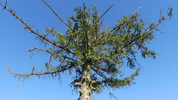 Tree, Conifer, Dying Tree, Dead Tree, Crown